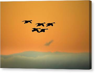 Canada Geese Canvas Print by Simon Booth