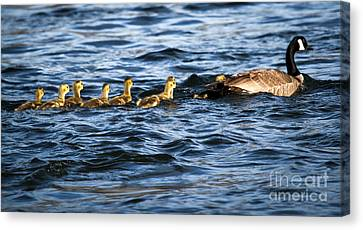 Canada Goose And Goslings Canvas Print by Robert Bales