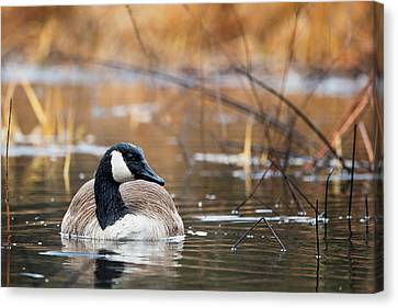 Canada Goose Canvas Print by Bill Wakeley