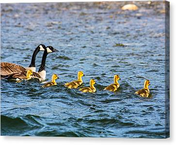 Canadian Geese And Goslings Canvas Print by Omaste Witkowski