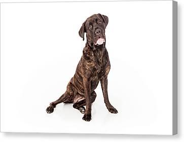 Cane Corso Dog Sitting To Side Canvas Print by Susan  Schmitz