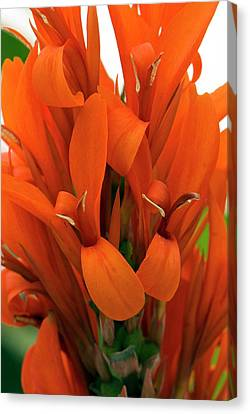 Canna Indica 'city Of Portland' Canvas Print by Adrian Thomas