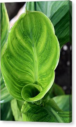 Canna Canvas Print by Kevin F Cook