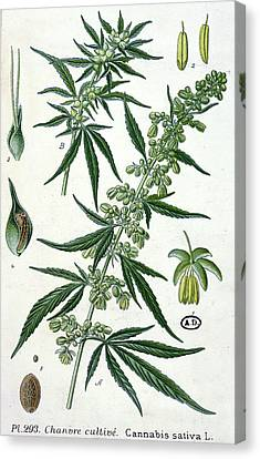 Cannabis Canvas Print by French School