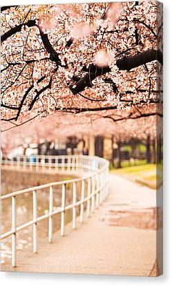Canopy Of Cherry Blossoms Over A Walking Trail Canvas Print by Susan  Schmitz