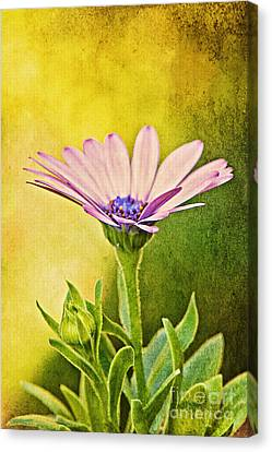 Cape Daisy Canvas Print by Lois Bryan