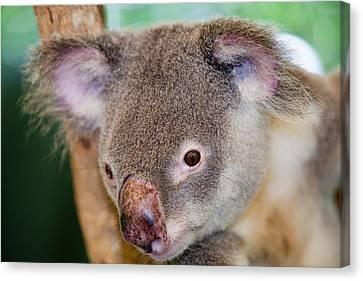 Captive Koala Bear Canvas Print by Ashley Cooper