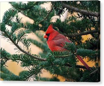 Cardinal In Balsam Canvas Print by Susan Capuano