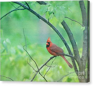 Cardinal In Rain Canvas Print by Kay Pickens