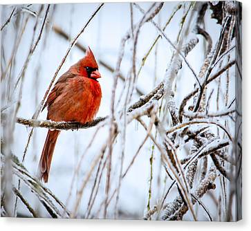 Cardinal In The Willow IIi Canvas Print by Jon Woodhams