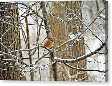 Cardinal In Winter Canvas Print by Aimee L Maher Photography and Art Visit ALMGallerydotcom