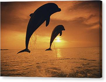 Caribbean, Bottlenose Dolphin (tursiops Canvas Print by Stuart Westmorland