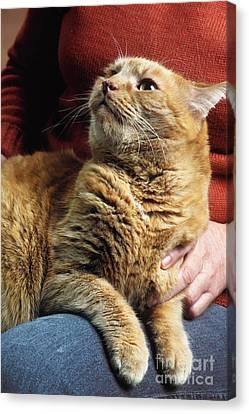 Cat On Lap Canvas Print by James L. Amos