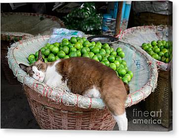 Cat Sleeping Among The Limes Canvas Print by Dean Harte