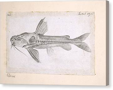 Catfish, Artwork Canvas Print by Science Photo Library