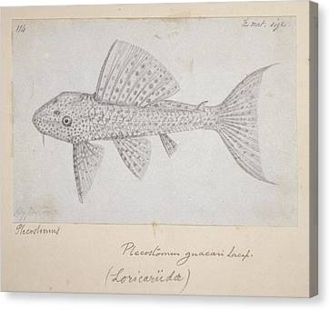 Catfish Canvas Print by Natural History Museum, London