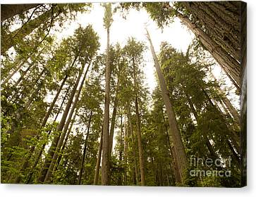 Cathedral Forest Canvas Print by Artist and Photographer Laura Wrede