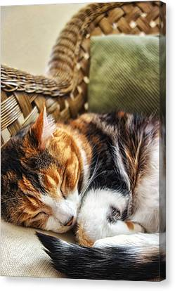 Catnap Canvas Print by Anthony Citro