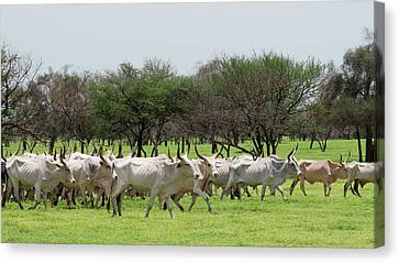 Cattle Farming Canvas Print by Thierry Berrod, Mona Lisa Production