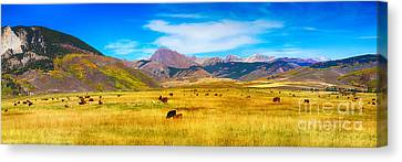 Cattle Grazing Autumn Panorama Canvas Print by James BO  Insogna