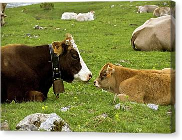 Cattle Resting Canvas Print by Bob Gibbons