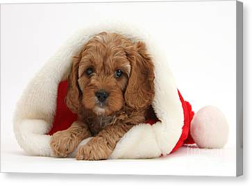 Cavapoo Puppy In A Christmas Hat Canvas Print by Mark Taylor