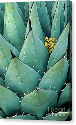 Century Plant And Tiny Blossom Canvas Print by Inge Johnsson