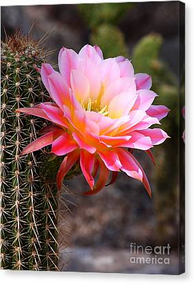 Cereus In Pink Canvas Print by Ruth Jolly