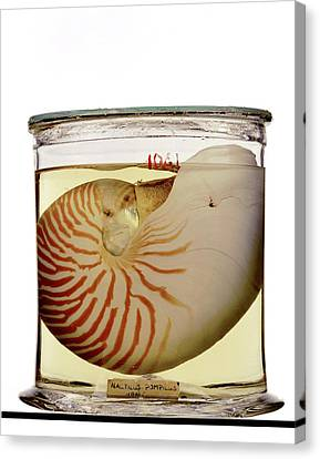 Chambered Nautilus Specimen Canvas Print by Ucl, Grant Museum Of Zoology