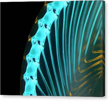 Chameleon Embryo Spine And Ribs Canvas Print by Dorit Hockman