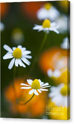 Chamomile Canvas Print by Tim Gainey