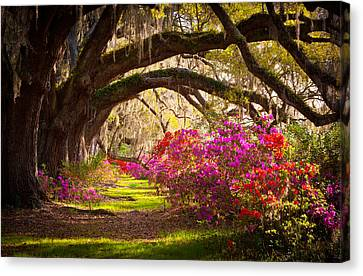 Charleston Sc Magnolia Plantation Gardens - Memory Lane Canvas Print by Dave Allen