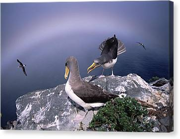 Chatham Albatross Pair On Cliff Chatham Canvas Print by Tui De Roy