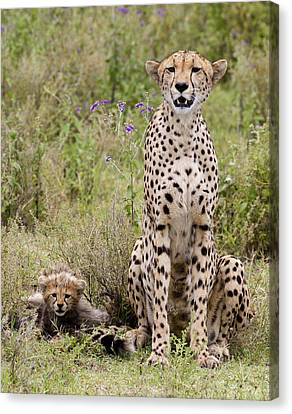 Cheetah  Acinonyx Jubatus Canvas Print by Carol Gregory