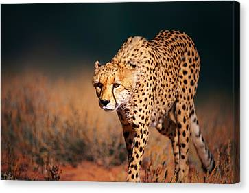 Cheetah Approaching From The Front Canvas Print by Johan Swanepoel