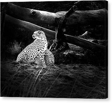 Cheetah Canvas Print by Camille Lopez