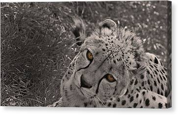 Cheetah Eyes Canvas Print by Martin Newman