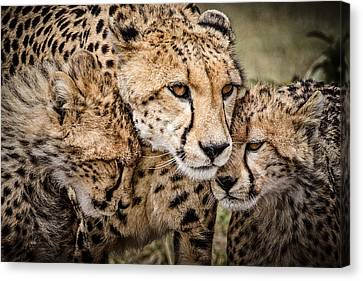 Cheetah Family Portrait Canvas Print by Mike Gaudaur