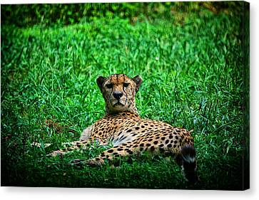 Cheetah Canvas Print by Karol Livote