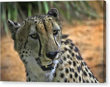 Cheetah Canvas Print by Kim Andelkovic