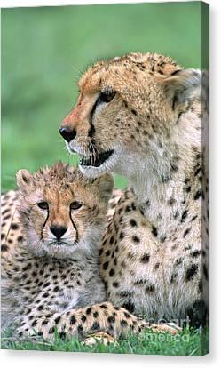 Cheetah Mother And Cub Masai Mara Canvas Print by