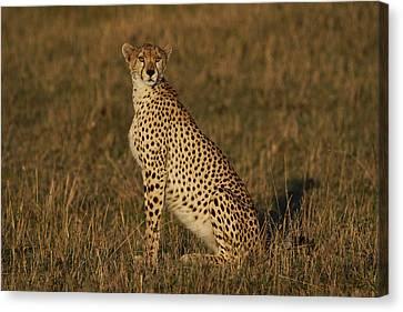 Cheetah On Savanna Masai Mara Kenya Canvas Print by Hiroya Minakuchi