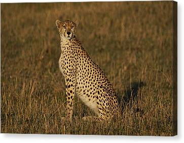 Cheetah On Savanna Masai Mara Kenya Canvas Print by Hiroya Minakuchi