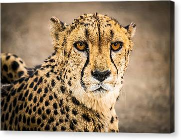 Cheetah Portrait - Color Photograph Canvas Print by Duane Miller