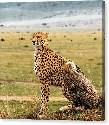 Cheetahs Canvas Print by Babak Tafreshi