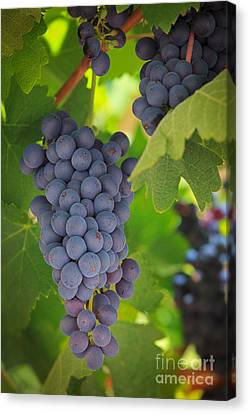 Chelan Blue Grapes Canvas Print by Inge Johnsson