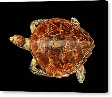 Chelonia Mydas Canvas Print by Natural History Museum, London