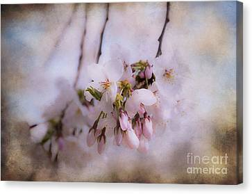 Cherry Blossom Dreams Canvas Print by Terry Rowe