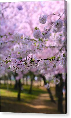 Cherry Blossom Canvas Print by Mitch Cat