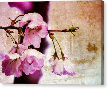 Cherry Blossom Spring Canvas Print by Jon Woodhams